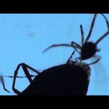 Stink bug meets spider