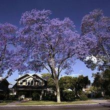 The Story Behind Los Angeles' Beautiful, Ephemeral Jacaranda Blooms