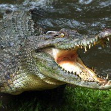 An Australian Teen Jumped In Crocodile-Infested Waters To Impress A Girl, And It Went As Well As ...
