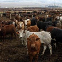 Increase in livestock theft in KZN causes alarm | IOL