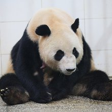 Giant pandas are no longer endangered!