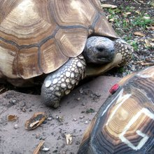 To Save Endangered Tortoises, Conservationists Deface Their Shells