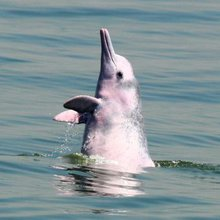 The last of the pink dolphins