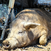 Living on Earth: The Creole Pig