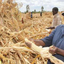 Ugandan maize lowers Kenya prices