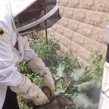 Backyard beekeeping escapes regulations for now