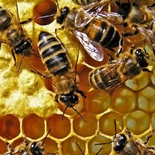 NZ beekeeper plans bee sanctuary on Niue