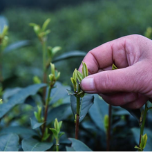 Three Day Festival Marks Beginning of Tea Harvest | World Tea News
