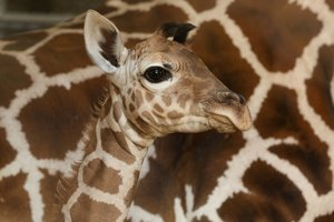 Facebook Profile Pictures Taken Over by Giraffes: Behind the Invasion