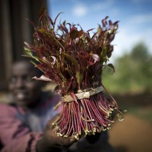 Tracking khat from Kenya to Canada