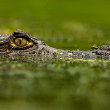 Demand for Bananas Puts Costa Rica's Caimans at Risk