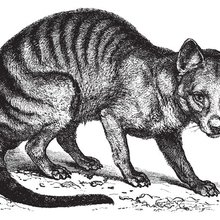 Not Extinct? Tasmanian Tiger 'Sightings' Offer Hope To Scientists