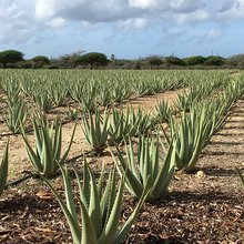 Aruba Aloe sheds light on potent, powerful plant