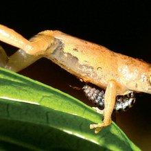 Bug proves fatal for Amboli amphibians - Pune Mirror -