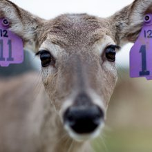 Texas Deer Breeders Seek Relaxation of Rules