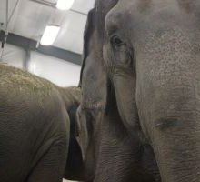 Hope for elephants: Retired circus elephants find new home
