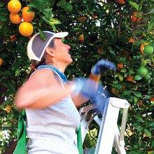 Food Forward, gleaning the neighborhoods - Jewish Journal
