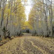Pando, one of the world's largest living organisms, is dying