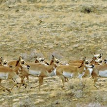 Border fence putting Arizona pronghorns in peril