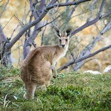Kangaroos Don't Get Knee Problems - Tonic