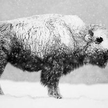 Bison had survived for 2 million years until humans arrived