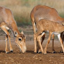 Here's why so many saiga antelope mysteriously died in 2015