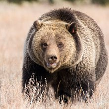 Grizzly Bear Sightings On The Upswing In Montana