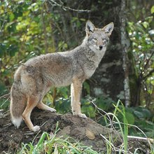 How To Raise Livestock In Coyote Country