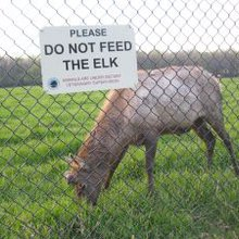 Elk herd, longtime area residents