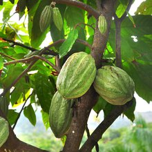 The Rise of Delicious Haitian Chocolate