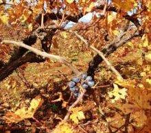 DNA sleuth hunts wine roots in Anatolia