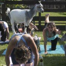 Vaudreuil-Dorion farm offers unique goat yoga classes