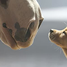 "Big Horses, a Cute Puppy, and An Epic ""Awwwww..."": Budweiser Clydesdales' 2014 Super Bowl Comm..."