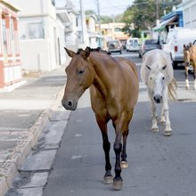 "Free Range in Paradise: The ""Wild"" Horses of the Caribbean Attract Tourists and Research"