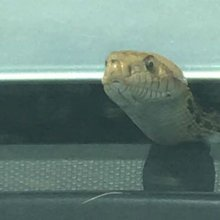 VIDEO: Hitchhiking snake takes ride on truck hood, causes Texas-sized surprise