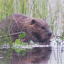 To Restore Salmon, Think Like a Beaver * The Revelator