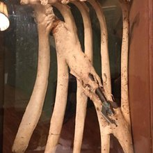 Hunters find dead deer with bone grown around arrow