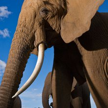 Ivory Poaching Threatens 'Elephant Memory'