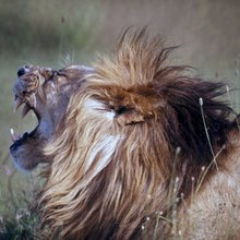 Lion Numbers Plunge as African Wilderness Succumbs to Human Pressure