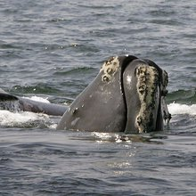 Boat strikes, fishing gear behind right whale deaths in Gulf of St. Lawrence: report