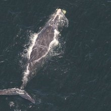 Watching whales from above, researchers race to stop more deaths in the Gulf of St. Lawrence