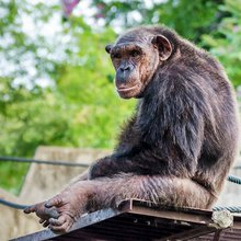 Elderly chimps may get Alzheimer's, renewing interest in studying these animals