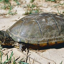 With as few as 100 left, Arizona turtle wins endangered species status