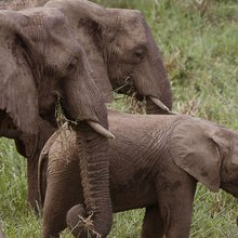 Only elephants should wear ivory in 2016