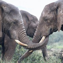 More Nations Need to Step Up to Save Elephants