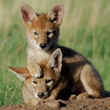 On the value of coyotes and other non-human life