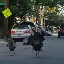 Ornery, ugly and wild - turkeys you won't look forward to seeing