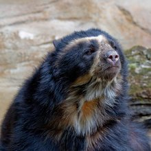 Latest death highlights plight of spectacled bear in Colombia