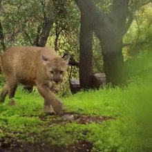 This filmmaker shoots the mountain lions that live near his home in Los Angeles, and this video i...