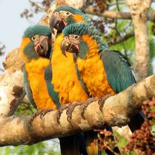 Fighting for the Blue-throated Macaw - BirdWatching